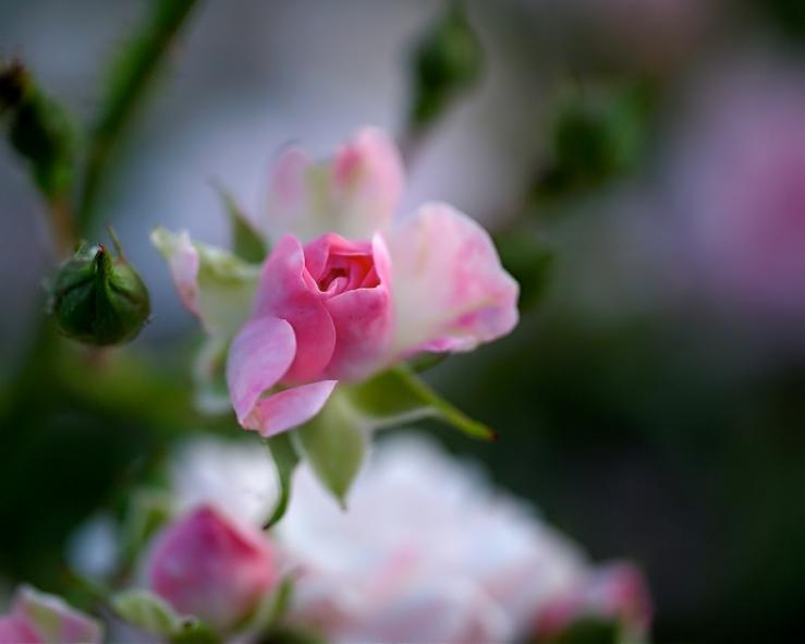 Rose Emergent