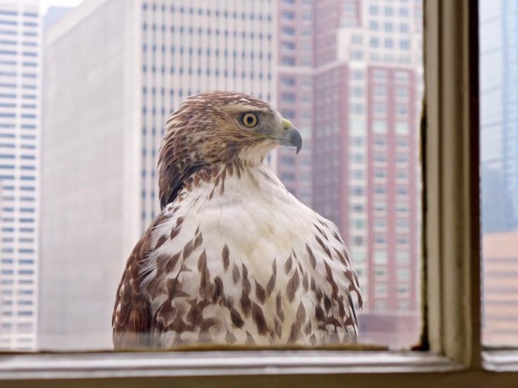 Urban Hawk