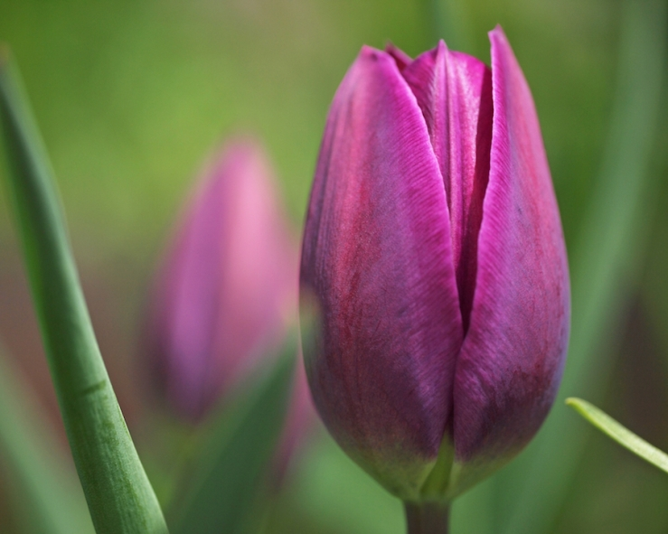 Another Tulip