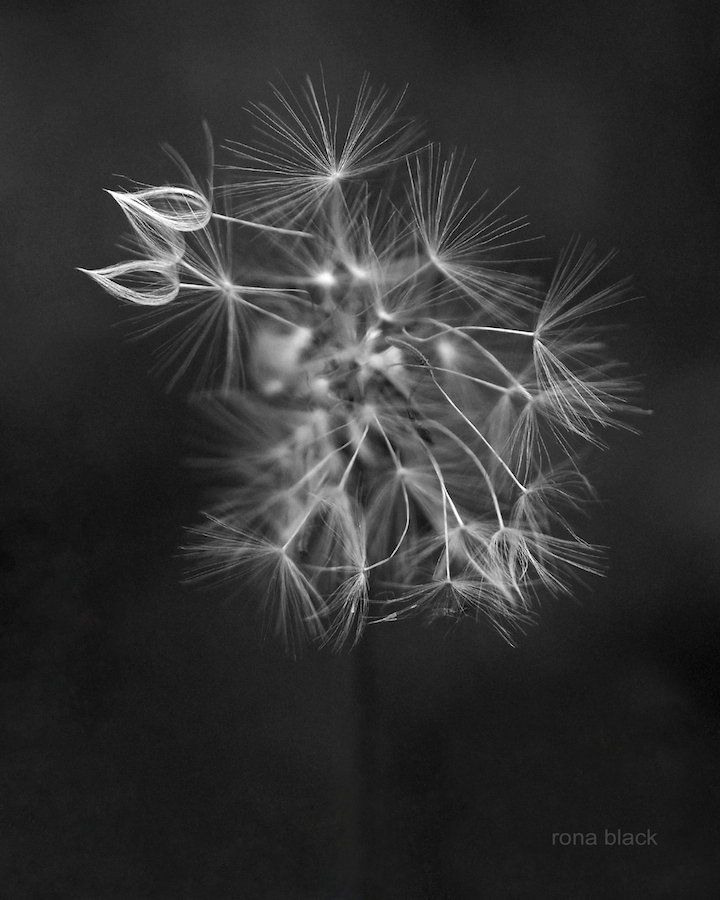 Portrait of a Dandelion