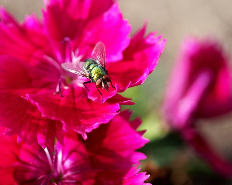 Green Bottle Fly on Dianthus