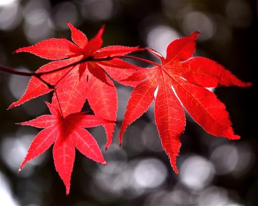 Dancing Japanese Maple