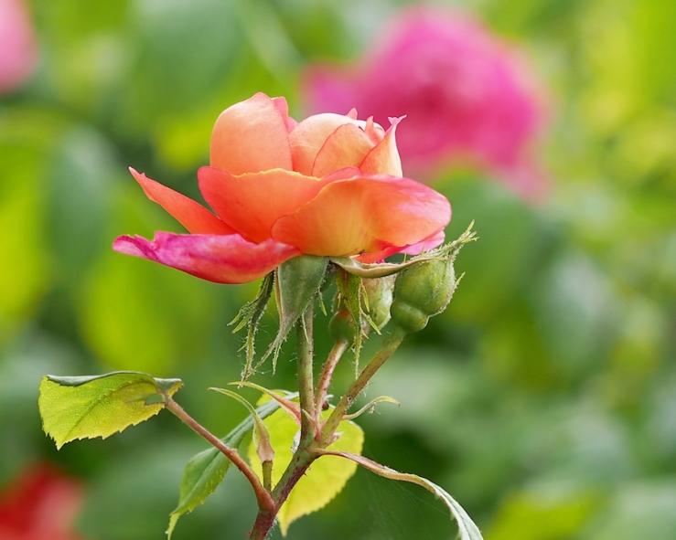 A Young Benjamin Britten Rose
