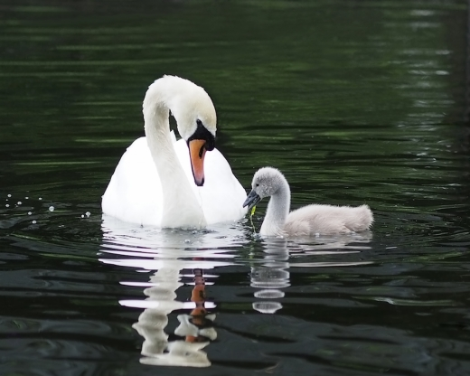 lunchtime with swan and cygnet by rona black