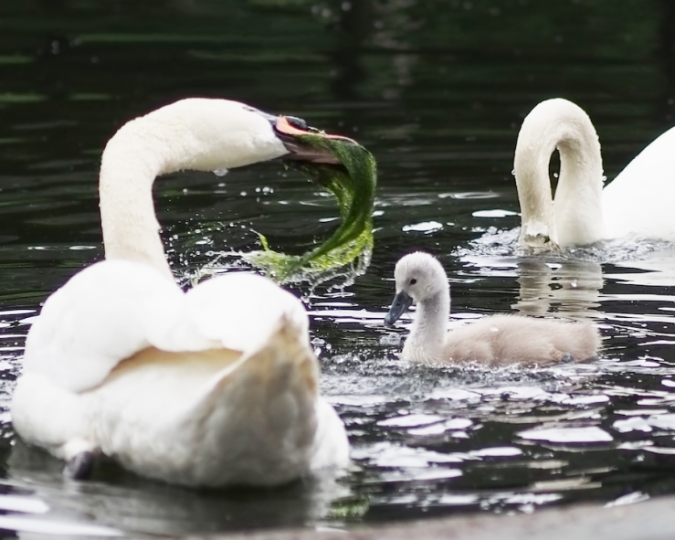 swan family meal by rona black