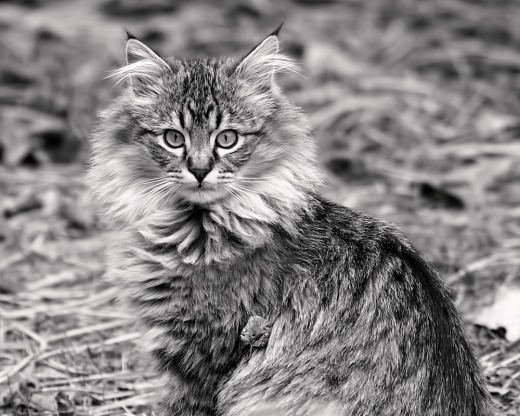 a-young-maine-coon-rona-black