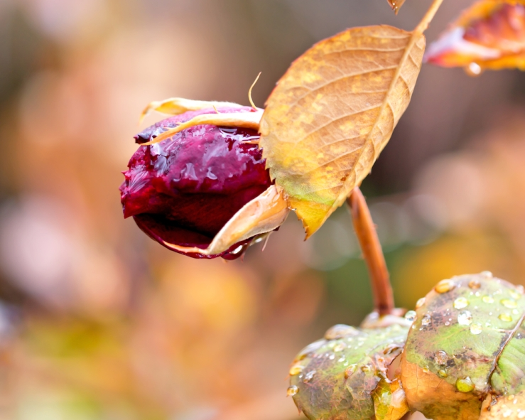 Autumn Rosebud art photo by Rona Black