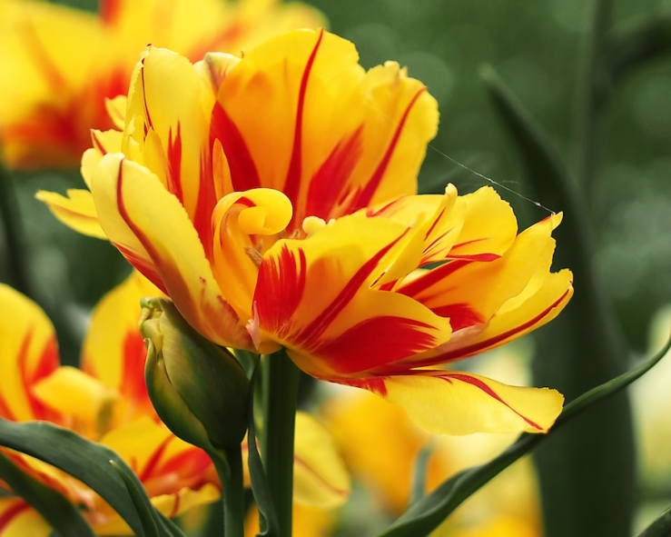 yellow and red triumph tulips
