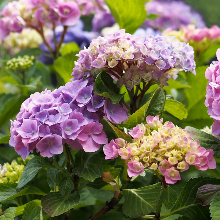 Colorful Hydrangea Blossoms - Rona Black