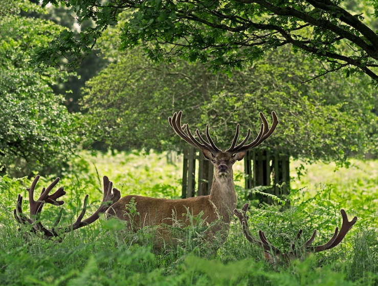 Red Deer Stag in Richmond Park