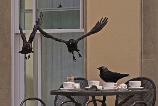 The Birds - crows - Rona Black