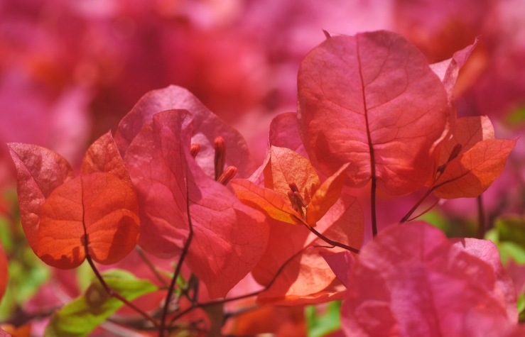 Sunlit Pink-orange Bougainvillea by Rona Black