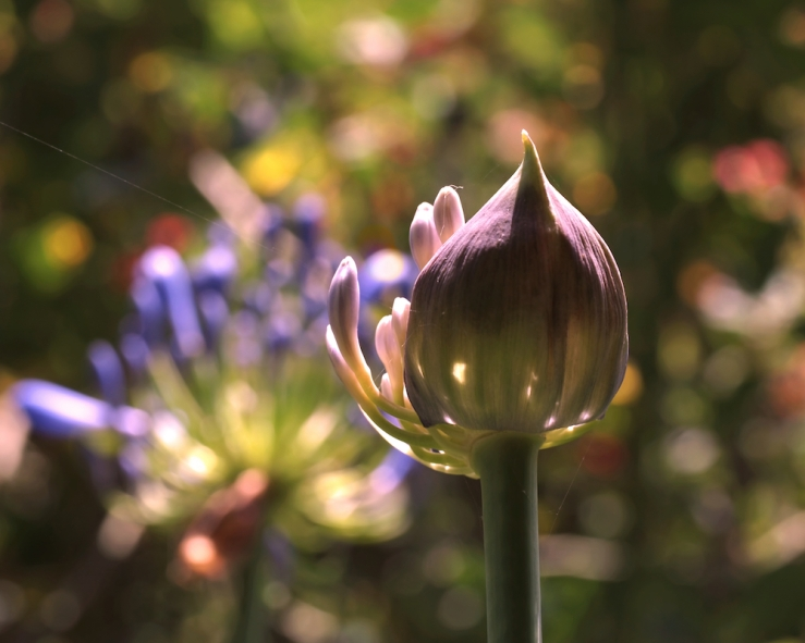 Welcome to the World - Agapanthus - Rona Black